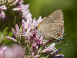 White M  Hairstreak _MG_3921.jpg
