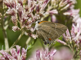 White M  Hairstreak _MG_3926.jpg