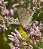 White M  Hairstreak _MG_3934.jpg