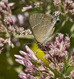 White M  Hairstreak _MG_3935.jpg