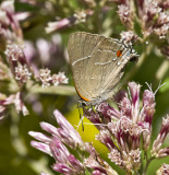 White M  Hairstreak _MG_3936.jpg
