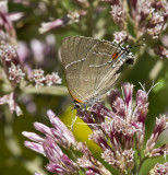 White M  Hairstreak _MG_3938.jpg