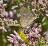 White M  Hairstreak _MG_3939.jpg