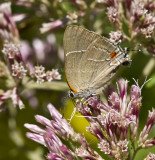 White M  Hairstreak _MG_3940.jpg