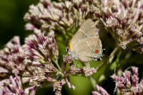 White M  Hairstreak _MG_3948.jpg