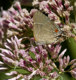 White M  Hairstreak _MG_3958.jpg
