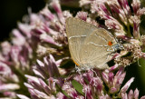 White M  Hairstreak _MG_3960.jpg