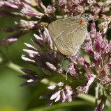 White M  Hairstreak _MG_3971.jpg