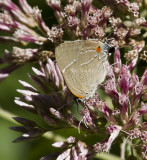 White M  Hairstreak _MG_3973.jpg