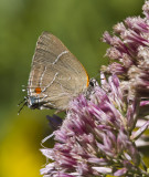 White M  Hairstreak _MG_3976.jpg