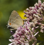 White M  Hairstreak _MG_3977.jpg