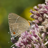 White M  Hairstreak _MG_3981.jpg