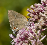 White M  Hairstreak _MG_3984.jpg