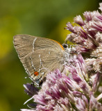 White M  Hairstreak _MG_3986.jpg