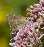 White M  Hairstreak _MG_3989.jpg
