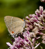 White M  Hairstreak _MG_3997.jpg
