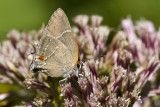 White M  Hairstreak _MG_4013.jpg