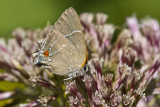 White M  Hairstreak _MG_4016.jpg