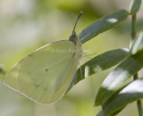 Lyside Sulphur _MG_1609.jpg