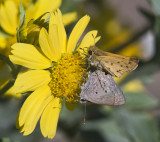 Mallow Scrub-Hairstreak + Fiery Skipper _MG_2768.jpg