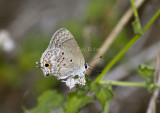 MALLOW SCRUB-HAIRSTREAK (Strymon istapa)