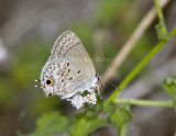 Mallow Scrub-Hairstreak _MG_0879.jpg