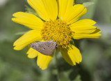 Mallow Scrub-Hairstreak _MG_2759.jpg