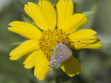 Mallow Scrub-Hairstreak _MG_2762.jpg