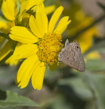 Mallow Scrub-Hairstreak _MG_2764.jpg