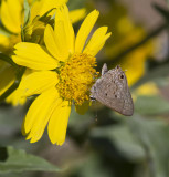 Mallow Scrub-Hairstreak _MG_2767.jpg