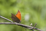 __ Goatweed Leafwing _MG_0856.jpg