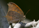 __ Goatweed Leafwing _MG_0835.jpg