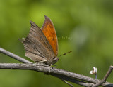 __ Goatweed Leafwing _MG_0849.jpg