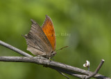 __ Goatweed Leafwing _MG_0851.jpg