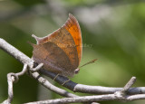 Goatweed Leafwing _MG_0700.jpg