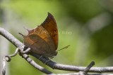 Goatweed Leafwing _MG_0708.jpg