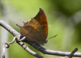 Goatweed Leafwing _MG_0713.jpg