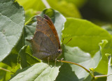 Goatweed Leafwing _MG_0722.jpg