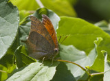 Goatweed Leafwing _MG_0730.jpg