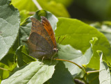 Goatweed Leafwing _MG_0731.jpg