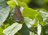 Goatweed Leafwing _MG_0732.jpg
