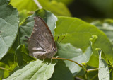 Goatweed Leafwing _MG_0737.jpg