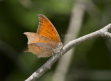 Goatweed Leafwing _MG_0739.jpg