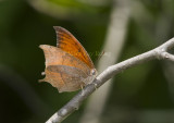 Goatweed Leafwing _MG_0740.jpg