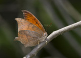 Goatweed Leafwing _MG_0745.jpg