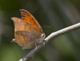 Goatweed Leafwing _MG_0750.jpg