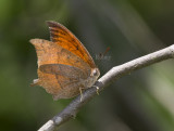 Goatweed Leafwing _MG_0751.jpg