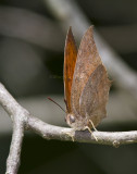 Goatweed Leafwing _MG_0766.jpg