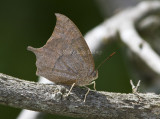 Goatweed Leafwing _MG_0768.jpg