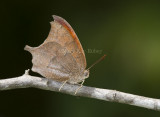 Goatweed Leafwing _MG_0809.jpg